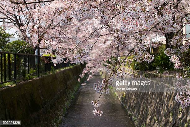 cherry blossom in kyoto - vadim krisyan stock pictures, royalty-free photos & images