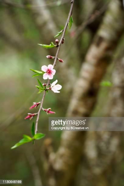 cherry blossom in moc chau, son la, vietnam - son la stock pictures, royalty-free photos & images