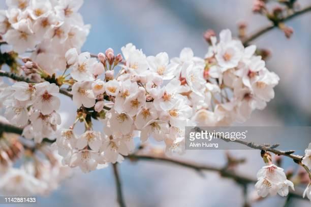 cherry blossom in spring with blue sky , japan. - abril fotografías e imágenes de stock
