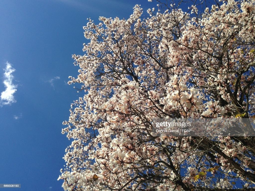 Cherry blossom in springtime : Stock Photo