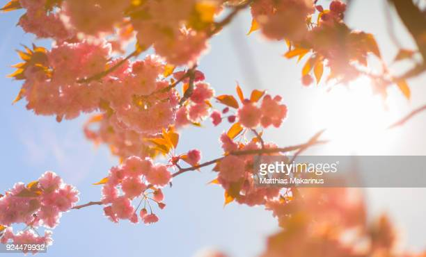 cherry blossom in sunny spring time - makarinus stock photos and pictures