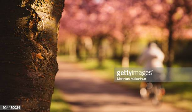Cherry blossom in sunny spring time with a biker in berlin city