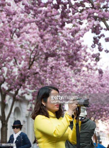 Cherry blossom in the old town of Bonn According to the Internet the narrow street is one of the ten most beautiful avenues in the world and is...