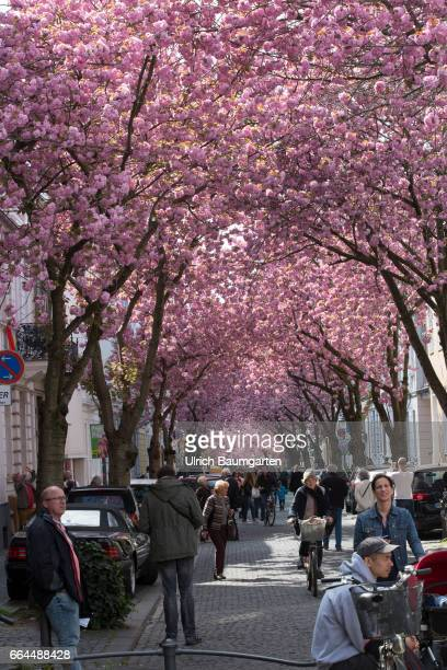 Cherry blossom in the old town of Bonn According to the Internet the narrow street is one of the ten most beautiful avenues in the world
