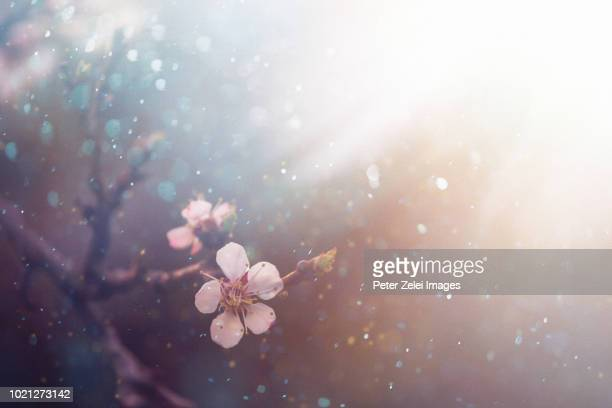 cherry blossom in the spring - flower head stock pictures, royalty-free photos & images