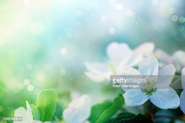 cherry blossom in the spring - 新しい命 ストックフォトと画像