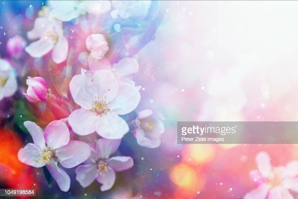 cherry blossom in the spring - flower background stock pictures, royalty-free photos & images