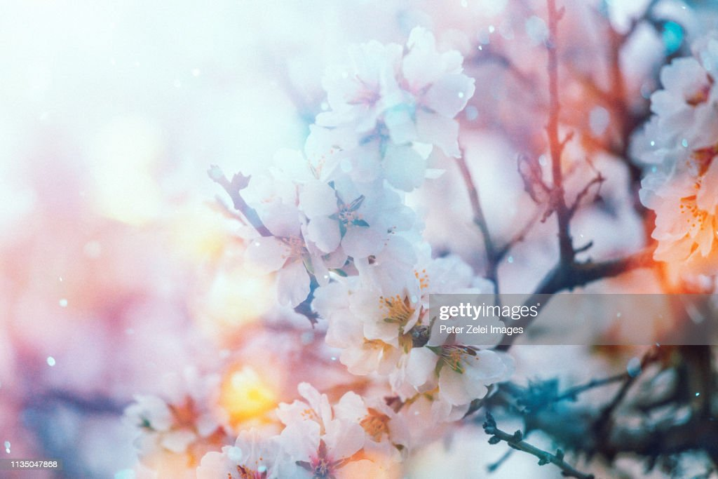 Cherry blossom in the spring : Stock Photo
