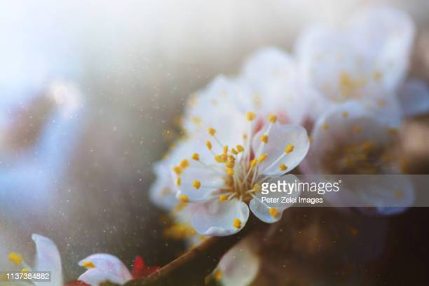 cherry blossom in the spring - 花粉 ストックフォトと画像