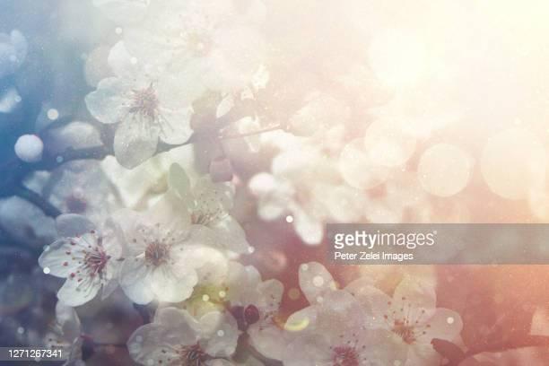 cherry blossom in the spring - april stockfoto's en -beelden