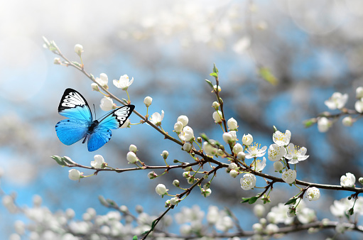 Cherry blossom in wild and butterfly. Springtime 1124531240