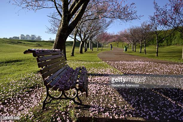 cherry blossom in winter - curitiba stock pictures, royalty-free photos & images