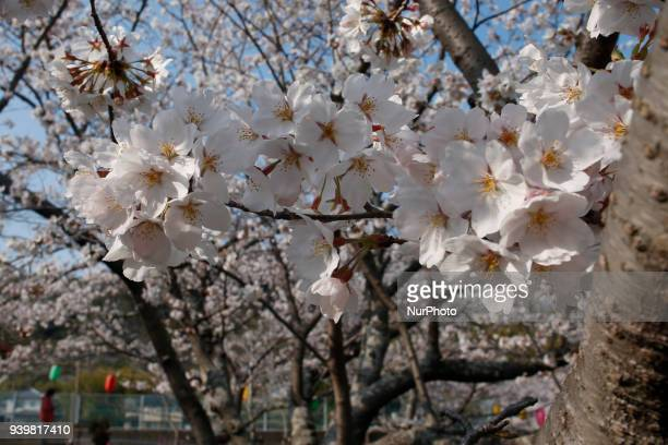 Cherry blossom is pictured in on March 29 2018 in Tokyo Japan The Japanese have a longheld tradition of enjoying the blooming of cherry blossoms