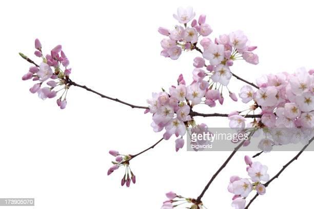 Fleur de cerisier isolé sur blanc