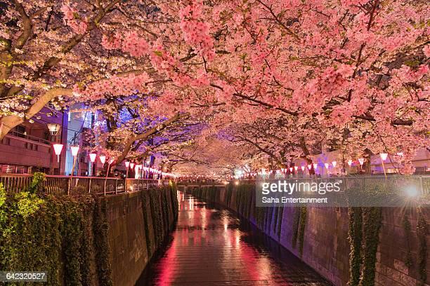 Cherry Blossom light up and Meouro river