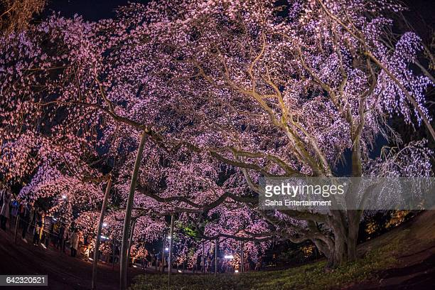 cherry blossom light up from rikugi gardens - saha entertainment stock pictures, royalty-free photos & images