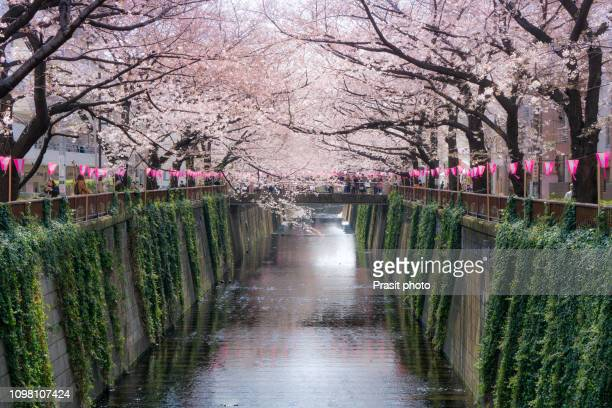 cherry blossom lined meguro canal in tokyo, japan. - cherry blossom in full bloom in tokyo stock pictures, royalty-free photos & images