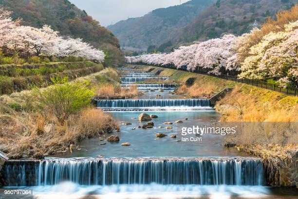 cherry blossom lined river in hakone, japan. springtime in april in hakone, japan. (day) - primavera estación fotografías e imágenes de stock