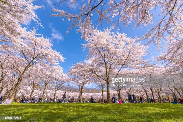 cherry blossom, low angle view - 三月 ストックフォトと画像