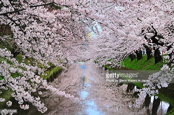 cherry blossom moat - aomori prefecture stock pictures, royalty-free photos & images