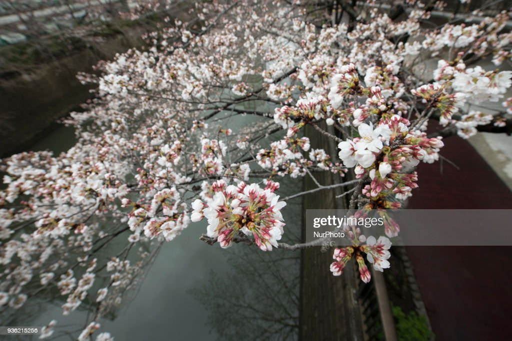 Cherry Blossom 2018 in Tokyo