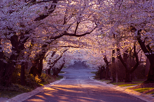 Cherry blossom neighborhood - gettyimageskorea