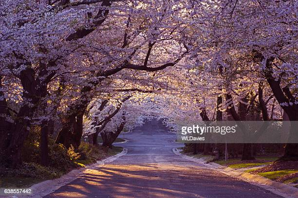cherry blossom neighborhood - boulevard stock pictures, royalty-free photos & images