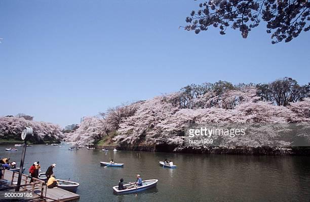 Cherry blossom of Chidorigafuchi