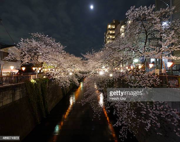 CONTENT] Cherry Blossom of Meguro river and 14th Moon Meguro ward Tokyo Japan spring 2013