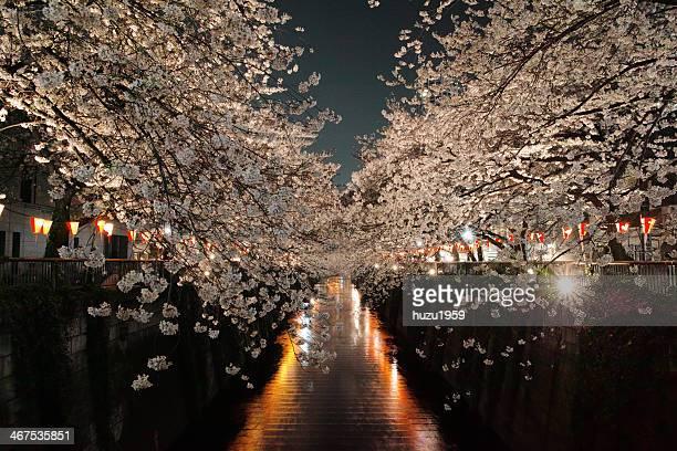 Cherry Blossom of Night Meguro River