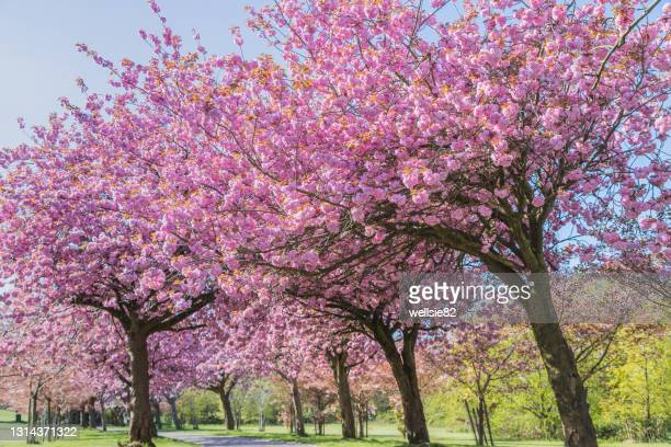 cherry blossom on an avenue of trees - tree stock pictures, royalty-free photos & images