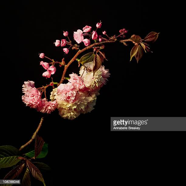 Cherry Blossom on Dark Background