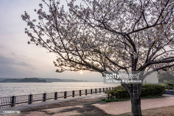 cherry blossom on the beach in kanagawa prefecture of japan - taro hama ストックフォトと画像