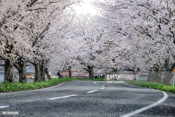 Cherry blossom on the roadside
