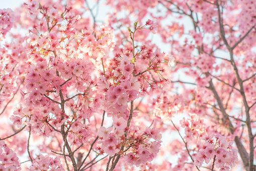 Cherry Blossom or Sakura in Japan close up. - gettyimageskorea