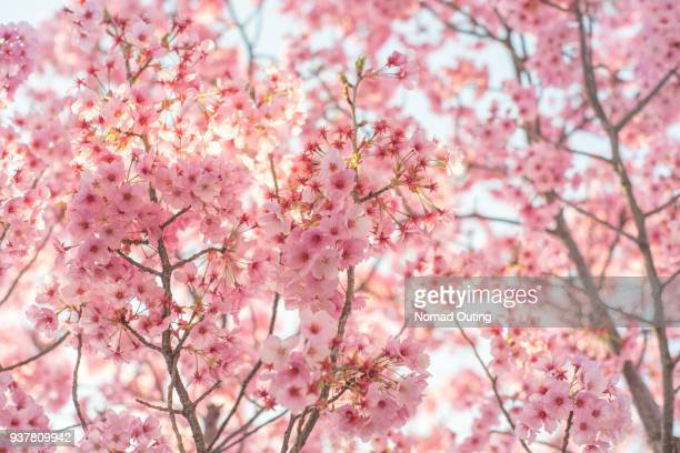 cherry blossom or sakura in japan close up. - bloesem stockfoto's en -beelden