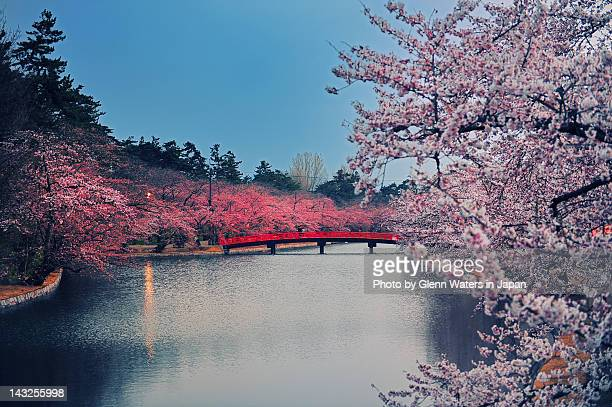 cherry blossom park - hirosaki stock pictures, royalty-free photos & images