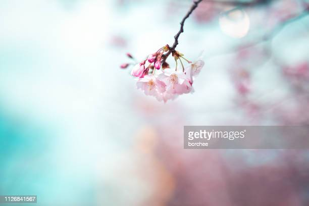 cherry blossom - pink flowers stock pictures, royalty-free photos & images