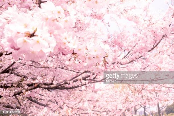cherry blossom - 桜 ストックフォトと画像