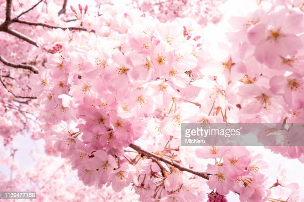 cherry blossom - cherry blossom in full bloom in tokyo stock pictures, royalty-free photos & images