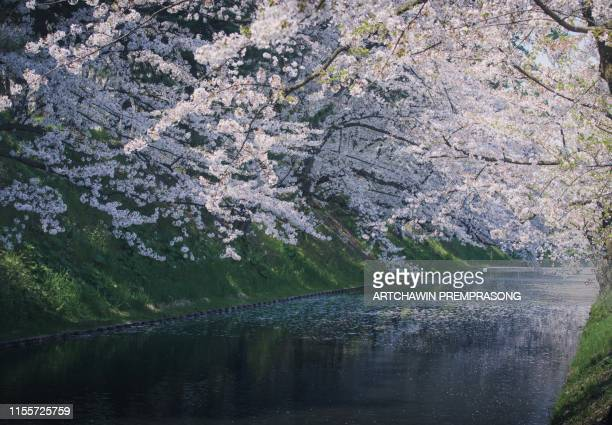 cherry blossom - hirosaki castle stock pictures, royalty-free photos & images