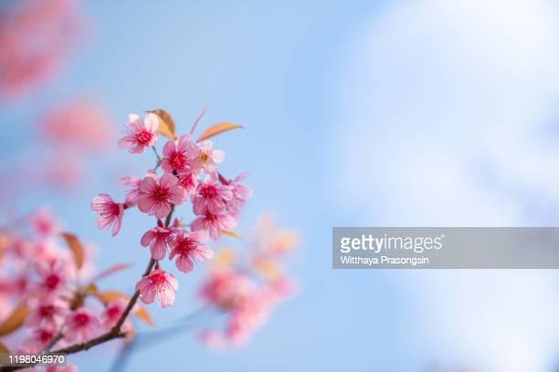 cherry blossom - cabeça da flor - fotografias e filmes do acervo