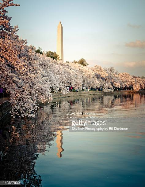 cherry blossom - national monument stock pictures, royalty-free photos & images