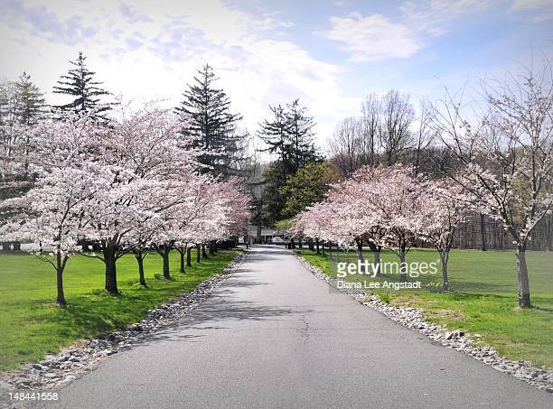 cherry blossom - rye new york stockfoto's en -beelden