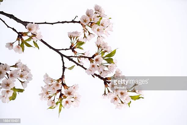 cherry blossom - flower head stock pictures, royalty-free photos & images