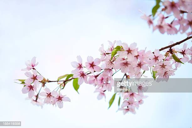 cherry blossom - branch stock pictures, royalty-free photos & images