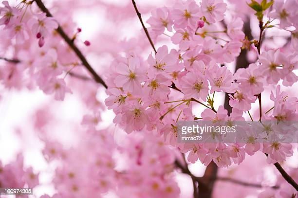 cherry blossom - march month stock pictures, royalty-free photos & images