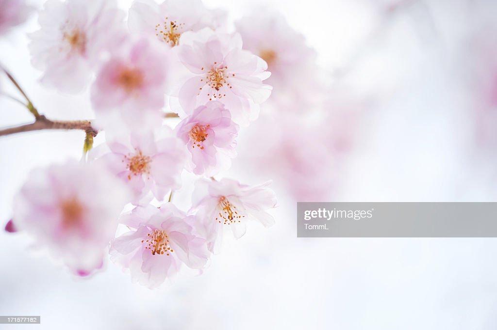 桜の花 : ストックフォト