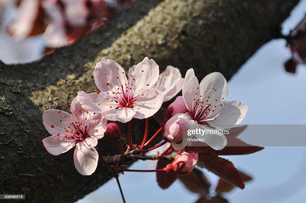 cherry Blossom : Stockfoto