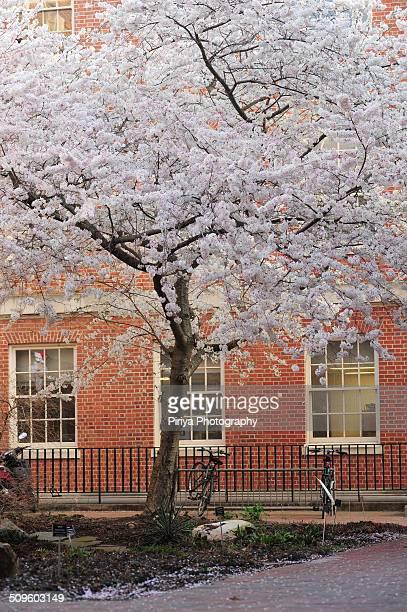 cherry blossom - carolina cherry photos et images de collection